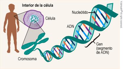 Mutaciones genéticas (cambios genéticos) (para Padres) - Nemours Kidshealth