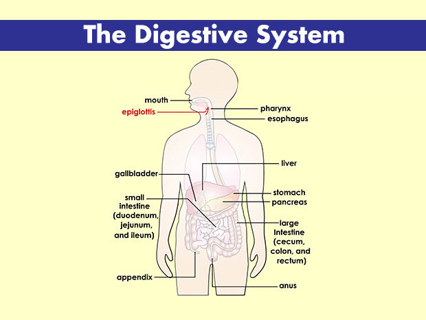 Digestive System 100 More Photos